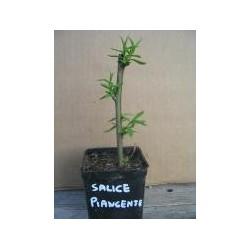 Salice Piangente