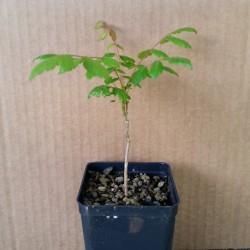 Albero Dorato della Pioggia  koelreuteria (Koelreuteria paniculata Laxm.)