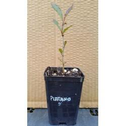 Platano (Platanus Orientalis)