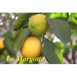 La Margotta