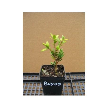 Buxus