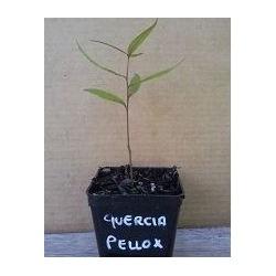 Quercia Phellox