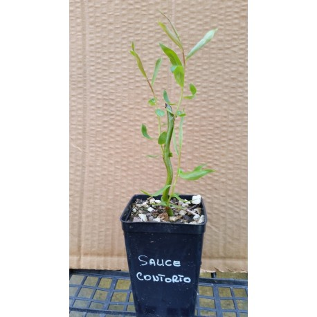 Salice Contorto  (Salix Matsudana Tortuosa)
