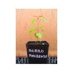 Acero Amurense