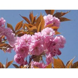Ciliegio  da Fiore ( Prunus serrulata Kanzan )