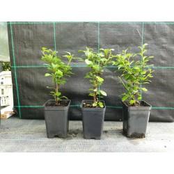 offerta 5 piante per Bomboniera di Barberis Rosso