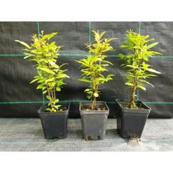 offerta 5 piante di Melograno per Bomboniere