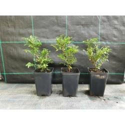 offerta 5 piante di cotoneaster per Bomboniere