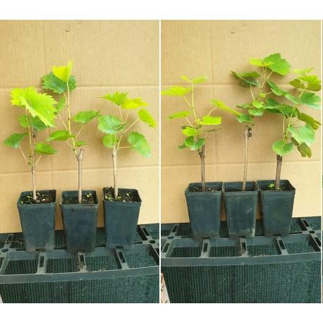 Offerta  3 Piante di Uva Bianca Francese Biologica  e 3 Piante di uva fragola nera Biologica