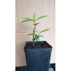 Falso Gelsomino , Rincospermo  ( Trachelospermum jasminoides )